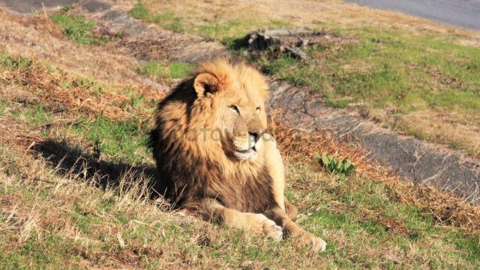 アドベンチャーワールドのライオン