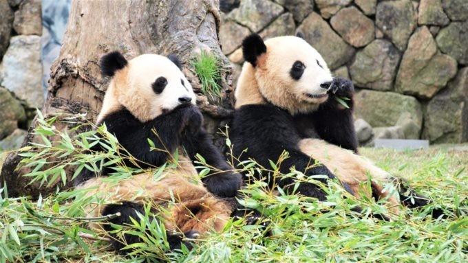 アドベンチャーワールドの二頭のパンダ