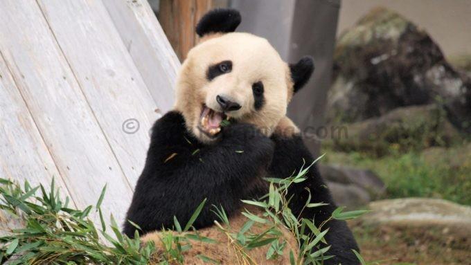食事中のアドベンチャーワールドのパンダ
