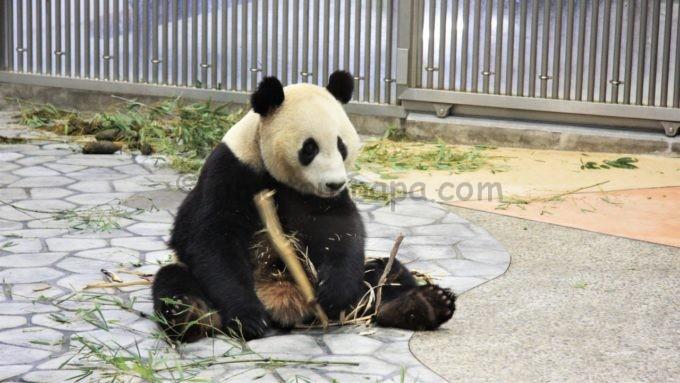 座るアドベンチャーワールドのパンダ