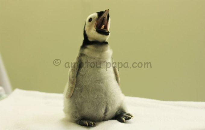 アドベンチャーワールドの皇帝ペンギン(赤ちゃん)