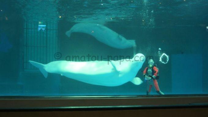 鴨川シ―ワールドのベルーガ(シロイルカ)のバブルリング