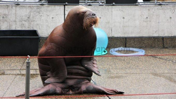 大分マリーンパレス水族館「うみたまご」のセイウチ