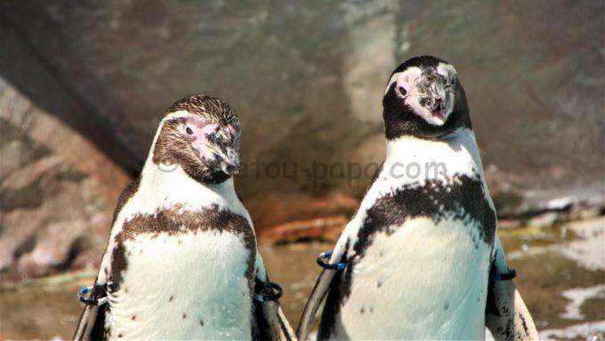 新潟市水族館 マリンピア日本海の「ペンギン」