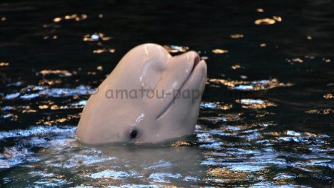 名古屋港水族館の白イルカ(ベルーガ)