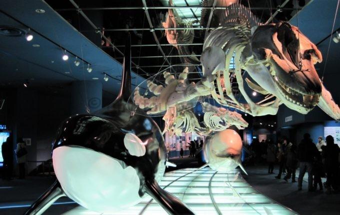 名古屋港水族館のシャチやベルーガの模型・骨格