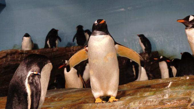 男鹿水族館GAOのペンギン
