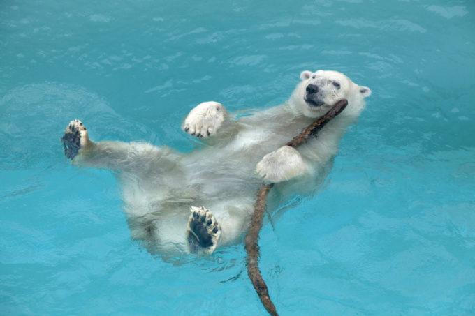 男鹿水族館GAOのシロクマ