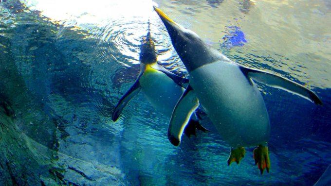 旭山動物園の泳ぐペンギン