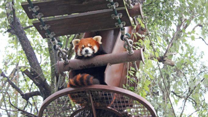 旭山動物園のあらいぐま