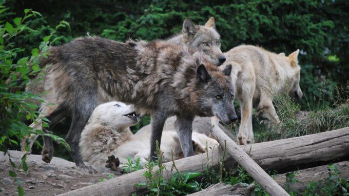 旭山動物園のオオカミ