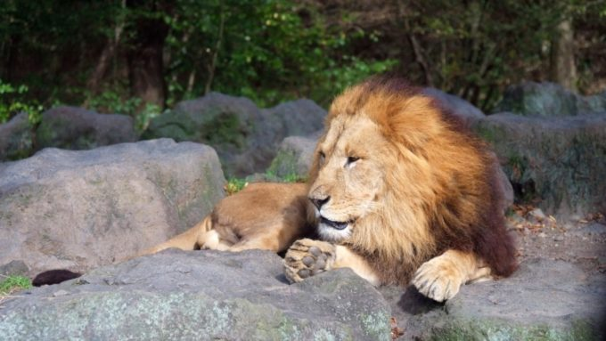富士サファリパークのライオン(オス)