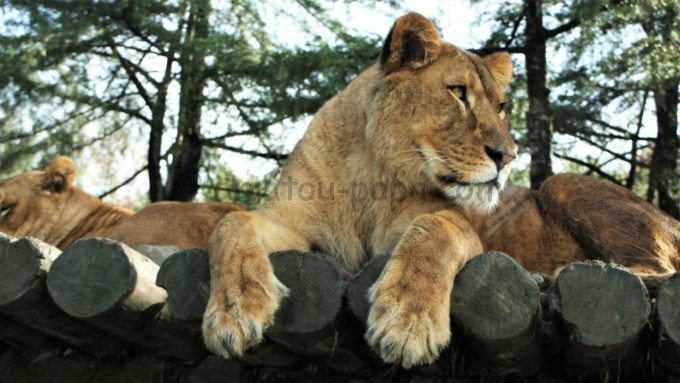 群馬サファリパークのメスライオン