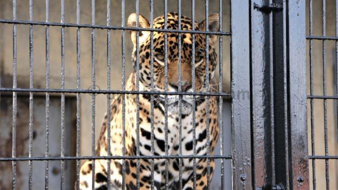 群馬サファリパークのトラ