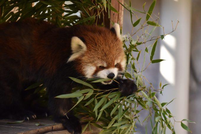姫路セントラルパークのレッサーパンダ