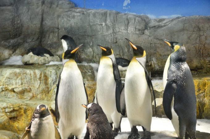 海遊館のオウサマペンギン