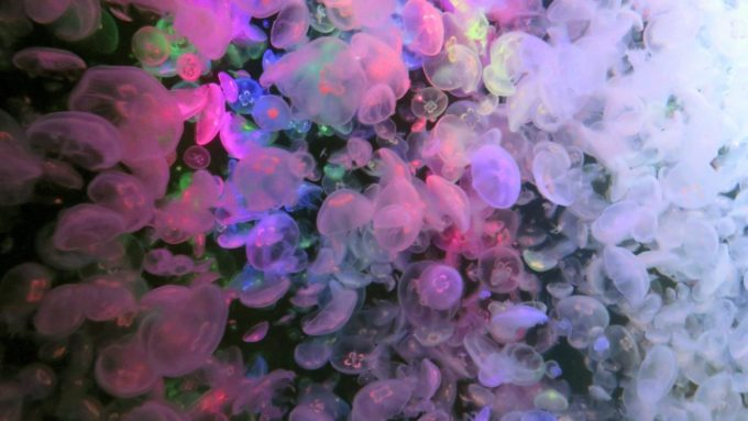鶴岡市立加茂水族館のクラゲドリームシアターの冬季間限定ライトアップされるミズクラゲ
