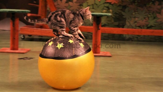 那須どうぶつ王国のザ・キャッツ(猫によるショー)
