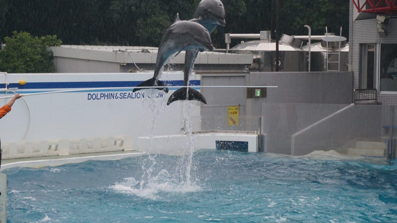 しながわ水族館のイルカのショー