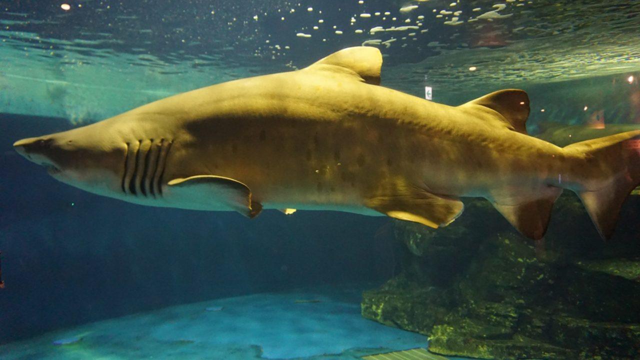 しながわ水族館の鮫(サメ)