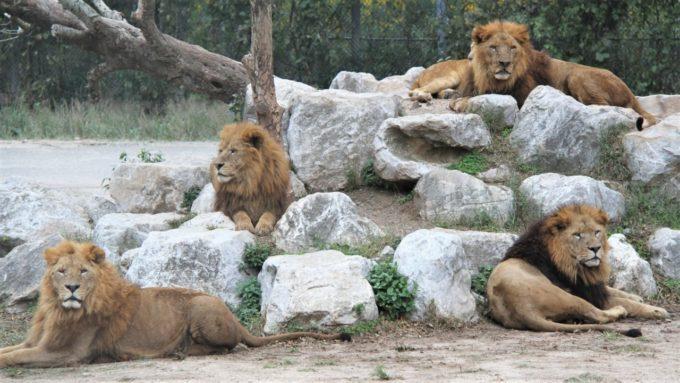 秋吉台自然動物公園「サファリランド」のライオン