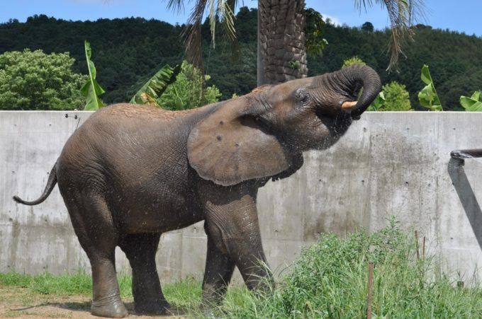 秋吉台自然動物公園「サファリランド」のゾウ