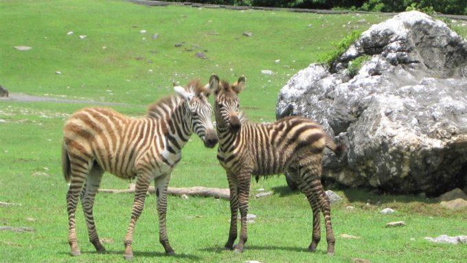 秋吉台自然動物公園「サファリランド」のシマウマ