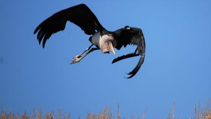 秋吉台自然動物公園「サファリランド」のアフリカハゲコウ