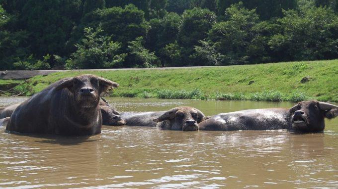 秋吉台自然動物公園「サファリランド」のアジアスイギュウ