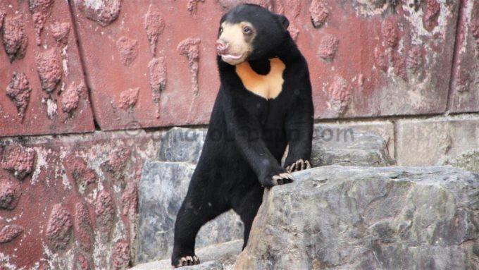 東山動植物園のクマ