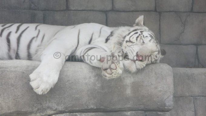 東武動物公園のホワイトタイガー
