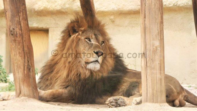 東武動物公園のライオン