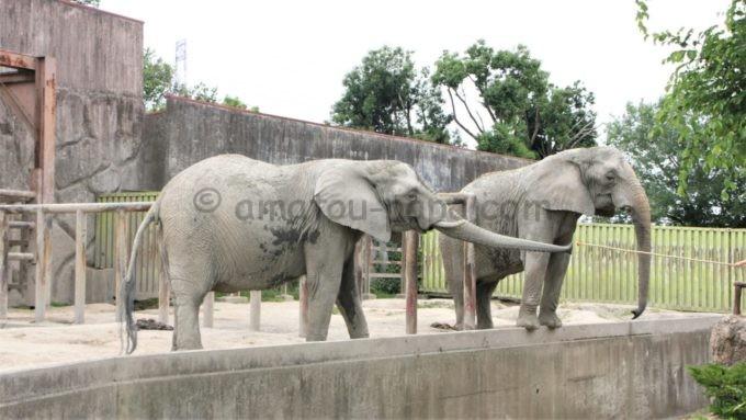 東武動物公園のゾウ