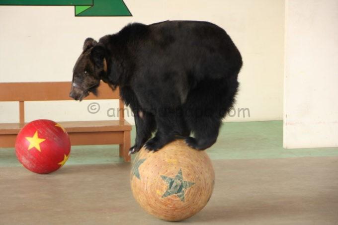 阿蘇カドリー・ドミニオンのクマのショーで玉乗りするクマ