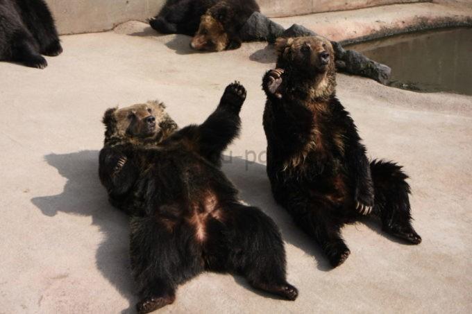 阿蘇カドリー・ドミニオンの餌を欲しがるクマ