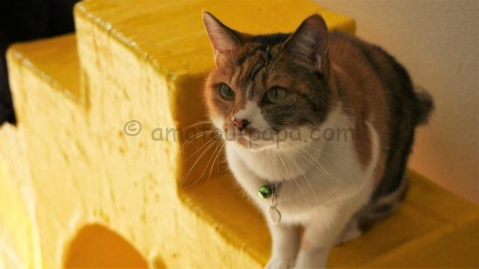 阿蘇カドリー・ドミニオンの猫