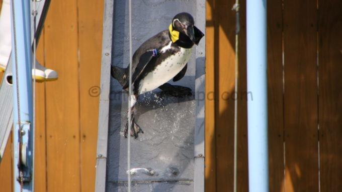 阿蘇カドリー・ドミニオンのペンギン