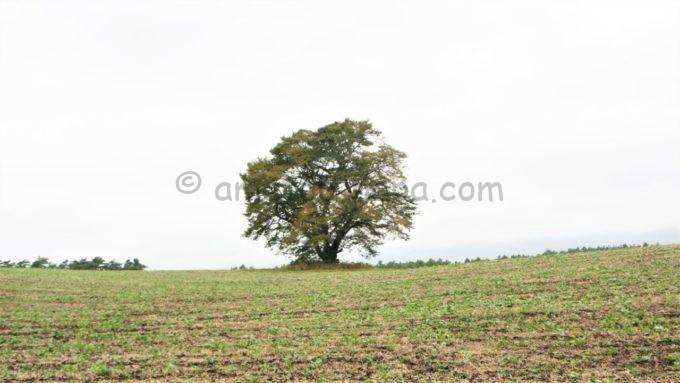 小岩井農場まきば園の一本桜