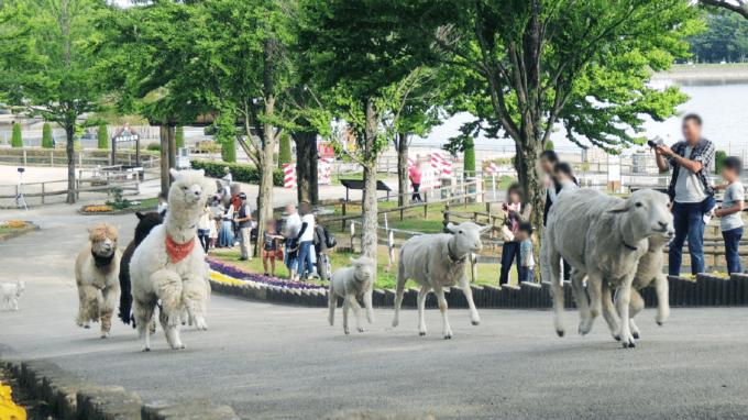 那須りんどう湖レイクビューのアルパカと羊のパレード