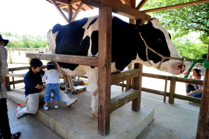 成田ゆめ牧場での牛の乳しぼり