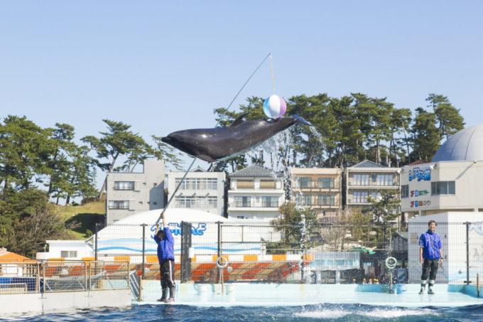 越前松島水族館のイルカのショー