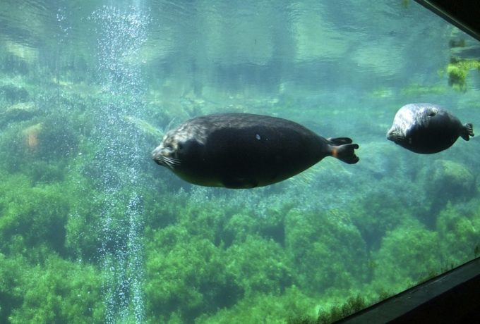 箱根園水族館で泳ぐバイカルアザラシ