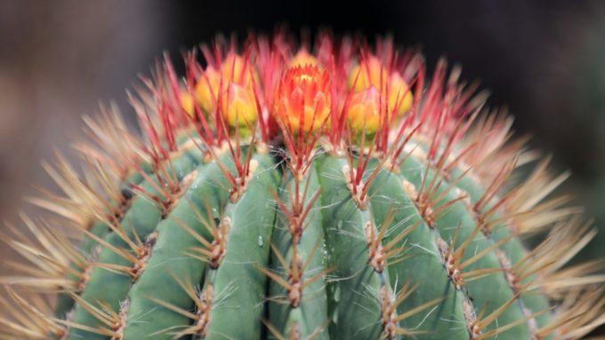 伊豆シャボテン動物公園のサボテンの花