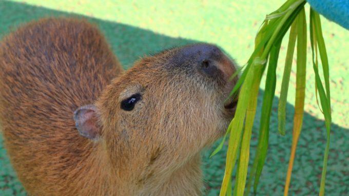 伊豆シャボテン動物公園の草を食べるカピバラ