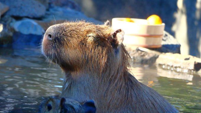 伊豆シャボテン動物公園の温泉に入るカピバラ