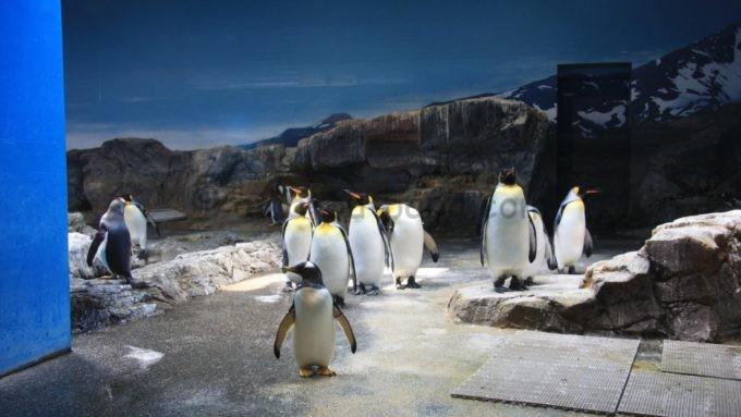 長崎ペンギン水族館きのオウサマペンギン