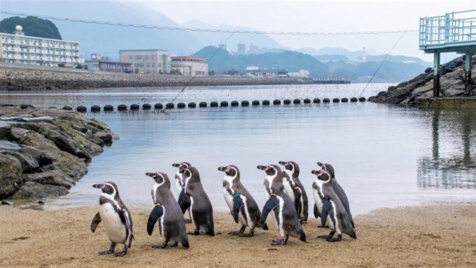 長崎ペンギン水族館のペンギンパレード
