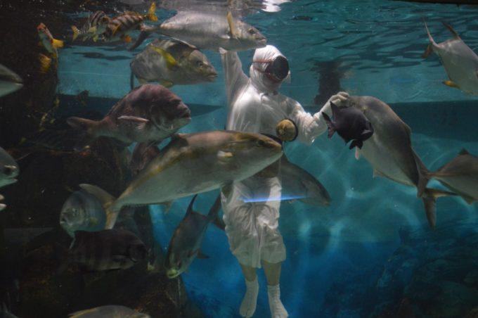 志摩マリンランドの回遊水槽での「海女の餌付け実演」