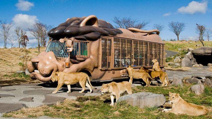 九州自然動物公園アフリカンサファリのライオン