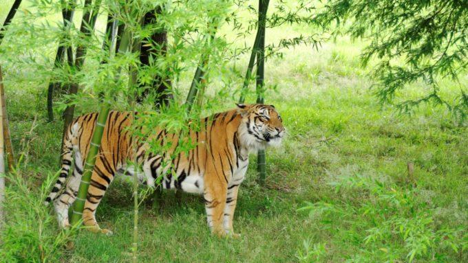 九州自然動物公園アフリカンサファリのトラ